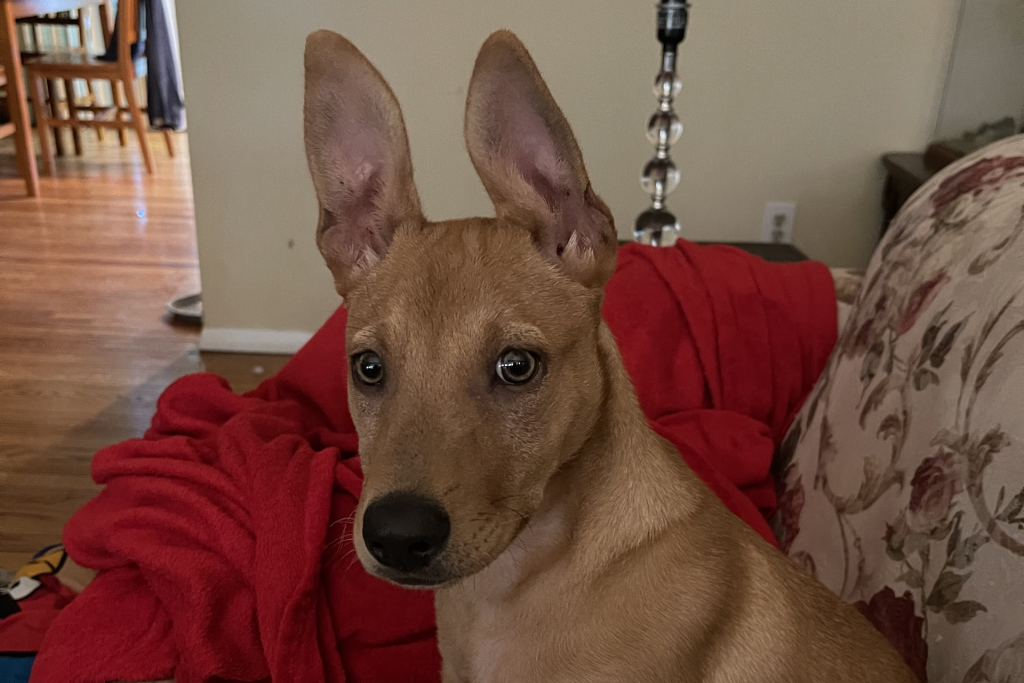Zara with her ears perked up looking at the camera.